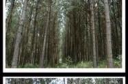 Floresta de Pinus 47 anos