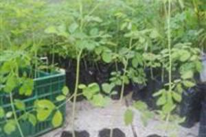 Mudas Moringa Oleifera/ Extremo Sul Bahia