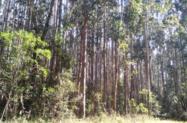 Reflorestamento 540 ha com Pinus