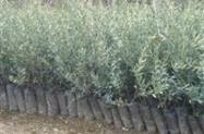 Mudas de oliveiras