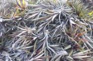 Mudas de abacaxi Massa