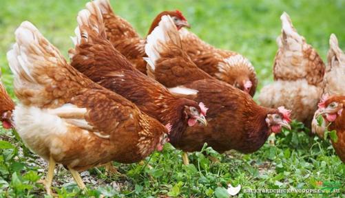 Galinha isa brown ovos galados