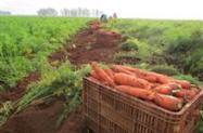 vendo cenoura beterraba