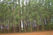 Compro eucalipto