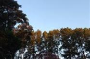 Vendo Pinus em Pé de mais