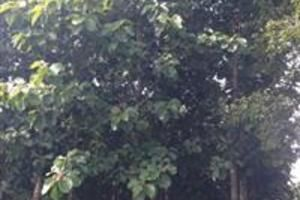 Vendo árvores de Teca em Goiania