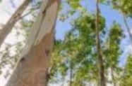 10ha de eucalipto de 7 anos
