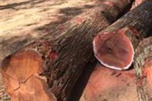 Tenho madeira serrada pra vender procuro comprador, Massaranduba
