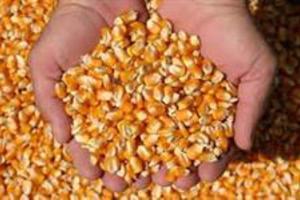 Milho Exportação P/ Índia