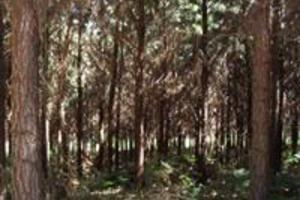 Arrendo Floresta De Pinus Elliottii Para Resinagem
