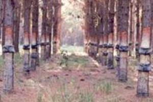PROCURO \ ARRENDAMENTO/PARCERIA para extração de resina de Pinus