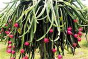 Pitayas de polpa vermelha