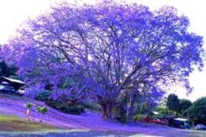 JACARANDÁ  - NOME CIENTIFICO: JACARANDA MIMOSAEFOLIA