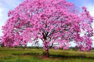 IPÊ ROSA – NOME CIENTIFICO: TABEBUIA PENTAPHYLLA.