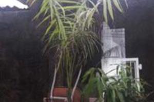 Palmeira Imperial 3,5 metros