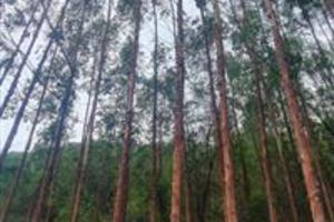 Vendo Eucalipto Urocam Clone em Jequitinhonha, Monte Formoso Mg
