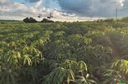 Procuro área para arrendar para plantio de mandioca
