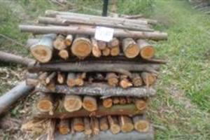 Compramos Plantação e Toras de Eucalipto e Pinus em todo Estado de São Paulo