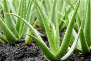 Mudas de Aloe Vera (babosa) Barbadensis a verdadeira