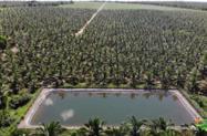 Fazenda coqueiral em produção no Maranhão