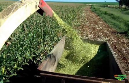 Silagem de milho ensacada em sacos de 50 kg e a granel