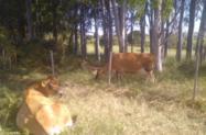 Vacas e Novilhas Jerseys e Gir