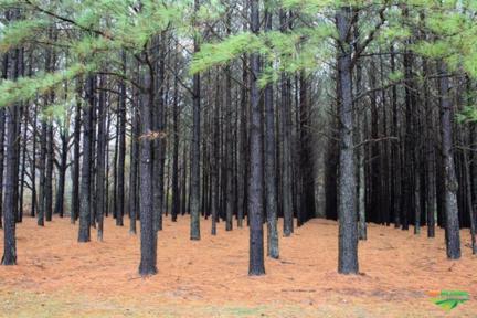 Compro Reflorestamento de Pinus
