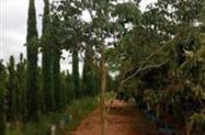 Árvores de sombra