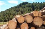 Fornecimento de Toras de Pinus
