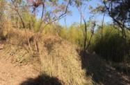 Bambú chinês