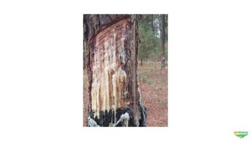 Procuro área de pinus para arrendamento para extração de resina