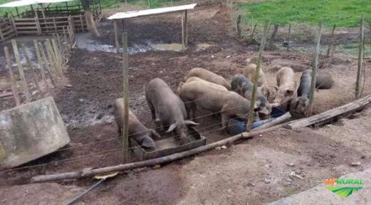 Vendo Porcos caipira gordos.