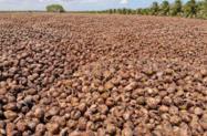 Cascas de Coco Secas