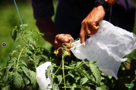 Agrotex - Saquinhos de Proteção para Frutas