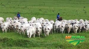 Procuro área para arrendamento - gado