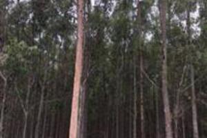 Vendo 44 ha floresta de eucalipto Citriodora 8 anos pronto para corte - Selviria MS