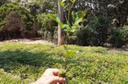 Mudas e sementes de mogno africano