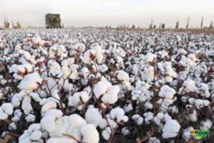 Farelo de algodão a granel ou ensacado