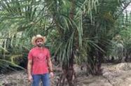Palmeira rafia (Raphia