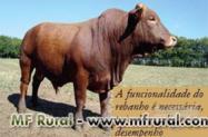 Bonsmara, Tourinhos, Bezerras e Vacas