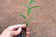 Mudas de Jambolão (Syzygium cumini L.)