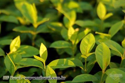 Mudas de Árvores Nativas - Em tubete e Saquinho