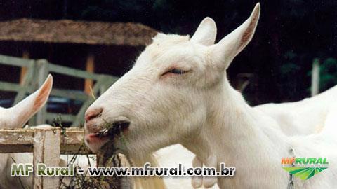 Curso Online Sistema Orgânico de Criação de Cabras