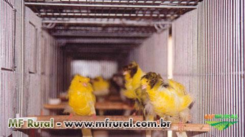 Curso Online Criação Comercial de Canários de Cor e Porte