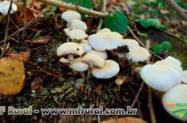 Curso Online Cultivo do Cogumelo Champignon