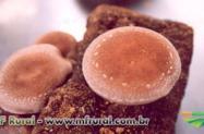 Curso Online Cultivo de Cogumelo Shiitake