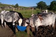 Vacas e Novilhas Girolanda