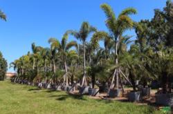 Mudas de palmeira rabo-de-raposa (Wodyetia bifurcata)