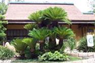 Cica (Cycas Revolute) - DIRETO PRODUTOR