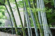Bambu Mosso (Phyllostachys Edulis)